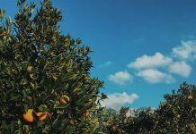 Orange trees, Nellia Kurme via Unsplash