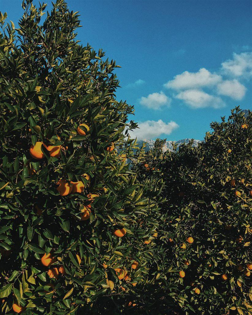 Orange trees, Nellia Kurme via Unsplash