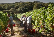 Sardinian-Wine-Vineyards